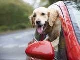 Voyager avec son chien en voiture : quels équipements ?