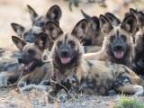 Canidés Sauvages - Les cousins du chien