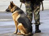 Les chiens à la guerre