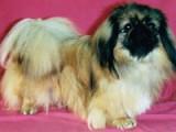 Le Nanisme : origines des chiens de petite taille