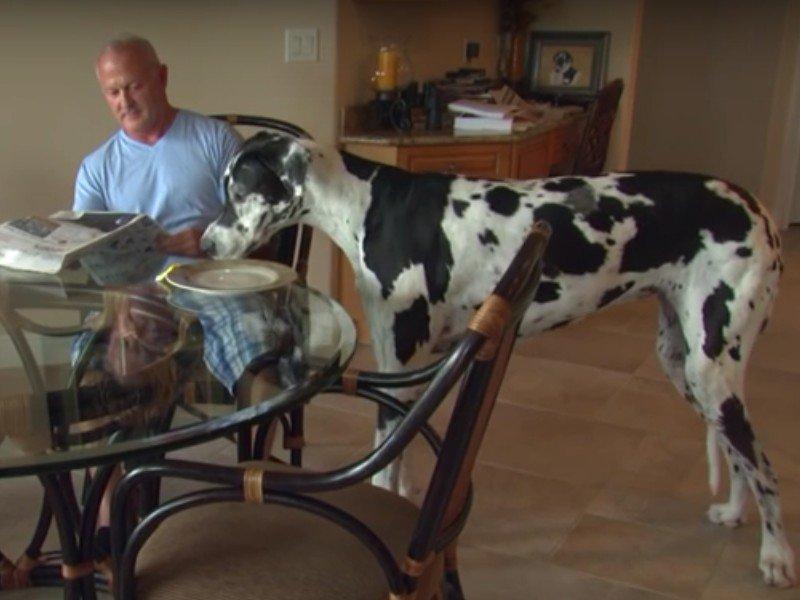 Vid o voici lizzy le plus grand chien du monde - Prenom le plus porte au monde ...