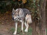 Voici «le loup des Ardennes»