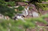 Yellowstone : les loups font repousser les arbres