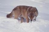 Vosges :  Et si le loup avait été introduit par l'homme ?