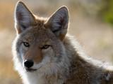 Le coyote, cousin du chien