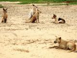 Les chiens pariahs