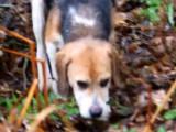 Matinée de chasse avec Cyto un beagle