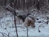Chasse aux lapins dans la neige pour des Beagle