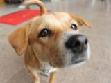 Les maladies que les chiens peuvent détecter par leur odorat