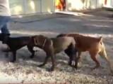 Séance de dressage avec des cane corso