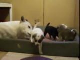 Un chien de Canaan avec ses petits