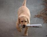 Suisse - Les facteurs victimes de 105 morsures de chiens en 2010