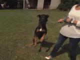 Les règles à suivre pour canaliser l'agressivité de son chien