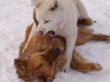 Les bagarres entre chiens