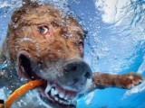 chiens jouant à la baballe sous l'eau