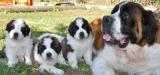 Trois nouveaux petits chiots au chenil de Martigny