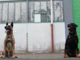 Rottweiler vs berger belge malinois