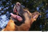 Morsures : plus graves lorsque le chien est connu