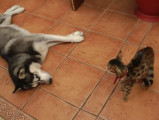 Un chat refuse de jouer avec son ami Husky