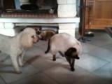 Un chat siamois tentent de faire peur à un caniche