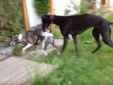 Un Whippet et un Greyhound jouent ensemble dans le jardin