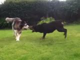 Un Malamute et un Rottweiler jouent ensemble
