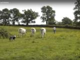Un Berger Australien surveille un troupeau de bovins