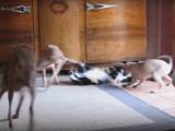 Une famille de Petits lévriers italiens s'amuse avec un chat