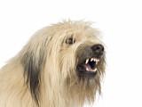 Pourquoi un chien est-il agressif ?
