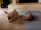 Un Bouledogue Français apprend à un bébé à marcher à 4 pattes