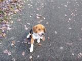 Exercices de dressage en forêt pour un Beagle