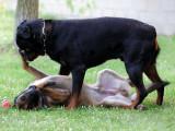 Votre chien est-il « dominant » avec les autres chiens ?