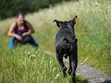 Apprendre le rappel au pied à son chien