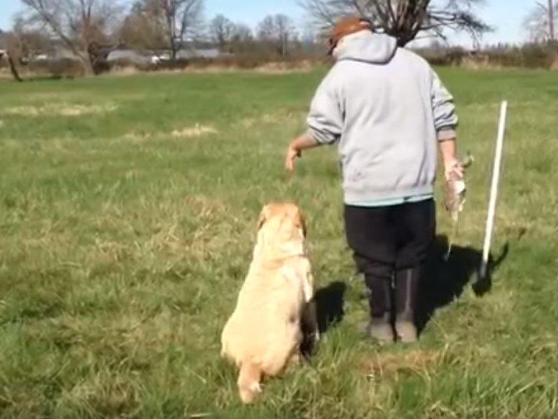 Vidéo Exercice de dressage pour un Golden Retriever