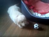 Un chiot Golden Retriever joue avec son ballon mais en a peur !