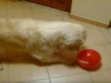 Golden Retriever tout fou de jouer avec un ballon de baudruche