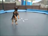 Un Pinscher nain qui fait du trampoline