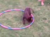 Quand un chien apprend le hula hoop