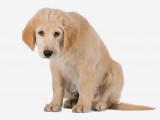 Les chiens peuvent-ils être victimes de dépression?