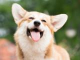 Le sourire chez le chien