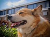 Les races de chiens les plus calmes