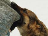 Liste des races de chiens pouvant pratiquer le mordant