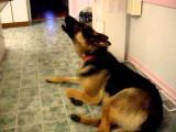 Le chien hurle à la douce mélodie du téléphone