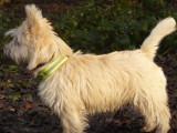 Sortie en forêt pour Dolbie un Cairn Terrier