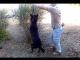 Comment apprendre à un chien à marcher au pied