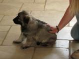 Test de Campbell d'un chiot Altdeutsche Schaferhund