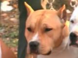 Etes vous fait pour avoir un American Staffordshire Terrier ?