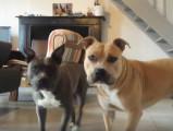 Deux American Staffordshire Terrier plein de sang froid