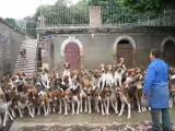 120 Beagle-harrier nourris en même temps