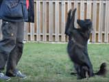 Réalisation d'exercices d'obéissance par un Berger des Pyrénées à face rase